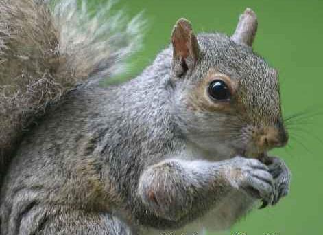 Gray_squirrel