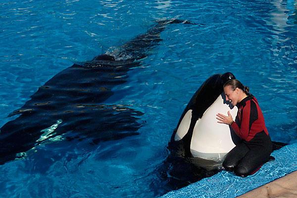 Seaworld_killer_whale