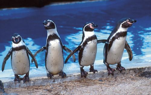Humboldt_penguins