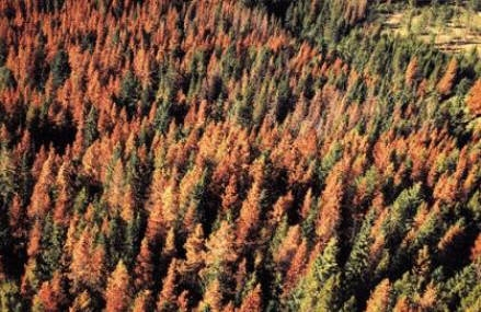 Pinebeetle_red_forest