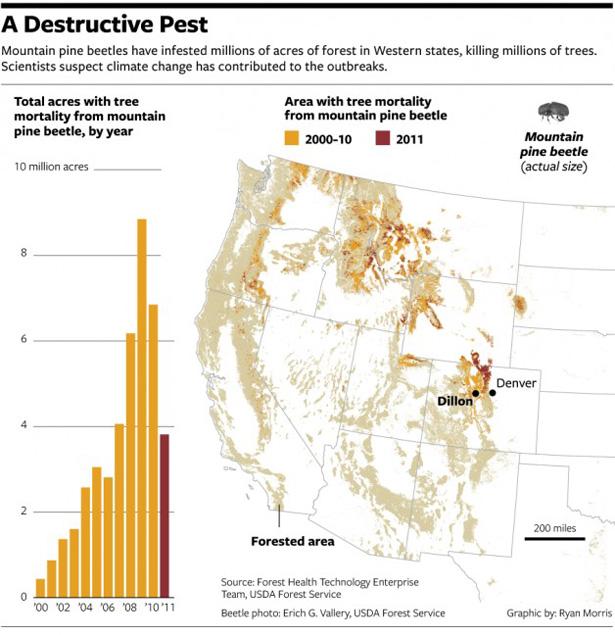 Pine_beetle_destructive_pest