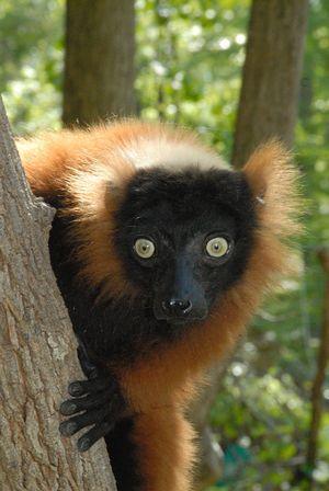 Red_ruffed_lemur