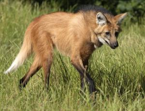 Maned_wolf