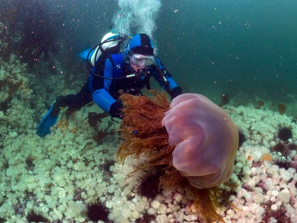 Lions_mane_jellyfish