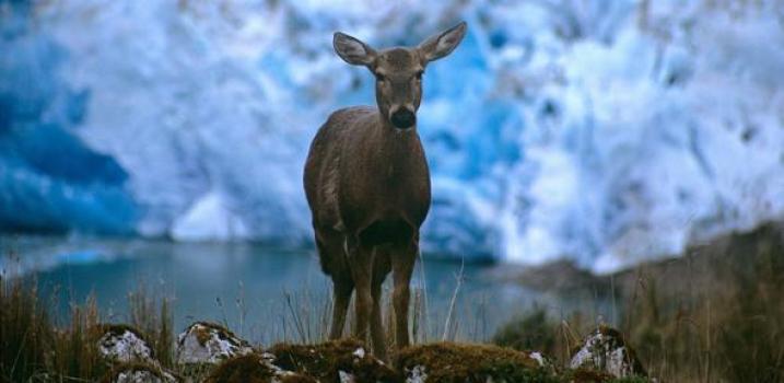 Huemal_deer