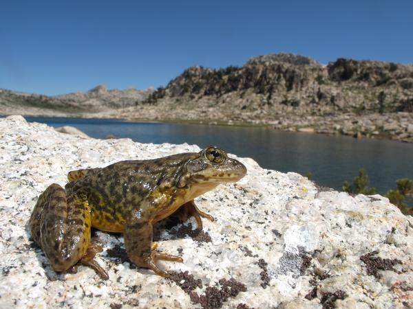 Sierra_nevada_yellow_legged_frog