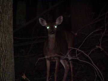 Deer_in_headlights