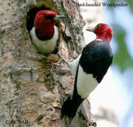 Red_headed_woodpecker