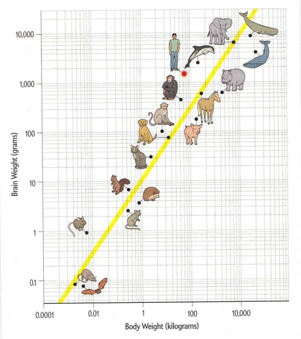 Mammal_brain_size_and_body_weight