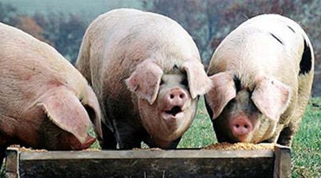 Pigs-eating