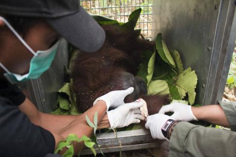 Saving_orangutans_borneo_2015