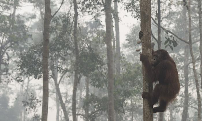 Orangutans_fire_2015